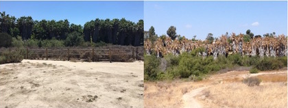 palm tree grove before and after herbicide