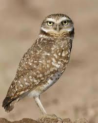 burrow owl 2