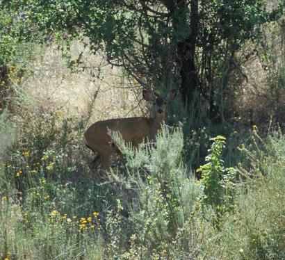 Mule_deer_USFWS_JHendron_big